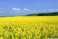 field_mustard_flower1
